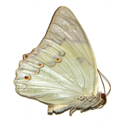 Helcyra takizawai