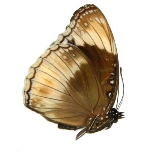 Hypolimnas alimena heteromorpha