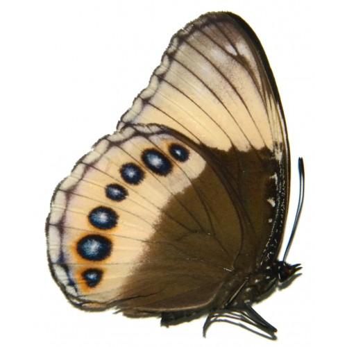 Hypolimnas deois hewitsoni