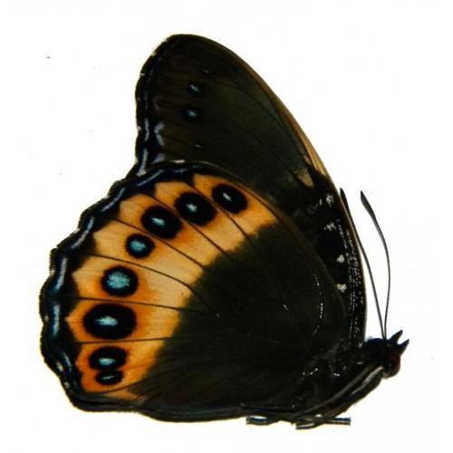 Hypolimnas pandarus pandora