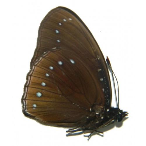 Hypolimnas pithoeka fumosus