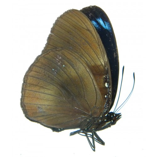Hypolimnas sumbawana takizawai