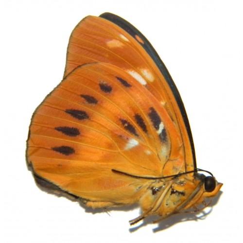 Lexias aeropus choirilus