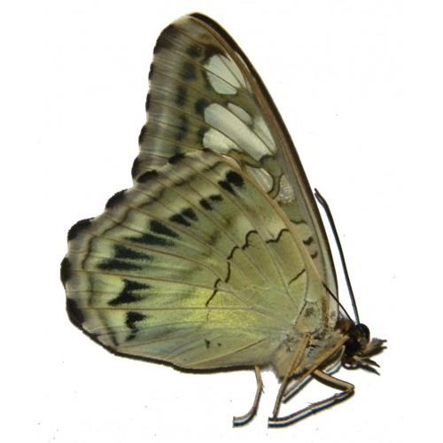 Parthenos sylvia tualensis