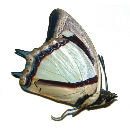 Polyura jalysus triphonus