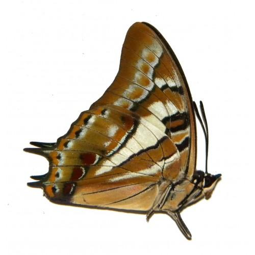 Polyura jupiter keianus
