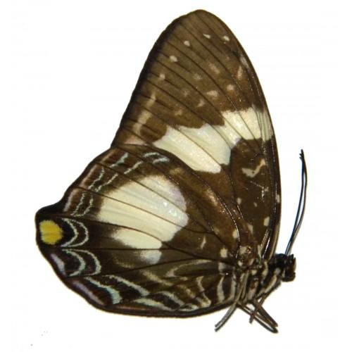 Prothoe australis australis