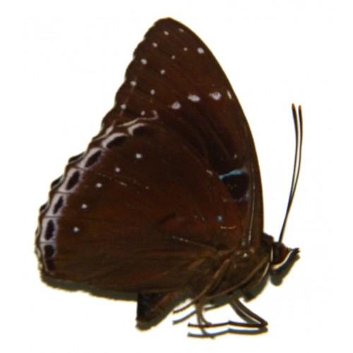 Stibochiona coresia paupertas