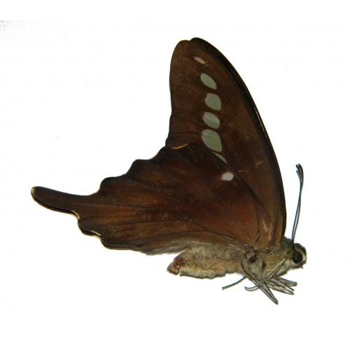 Graphium codrus codrus