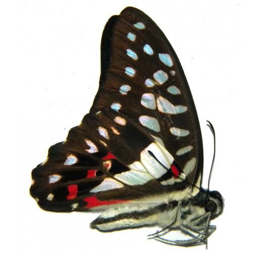 Graphium eurypylus