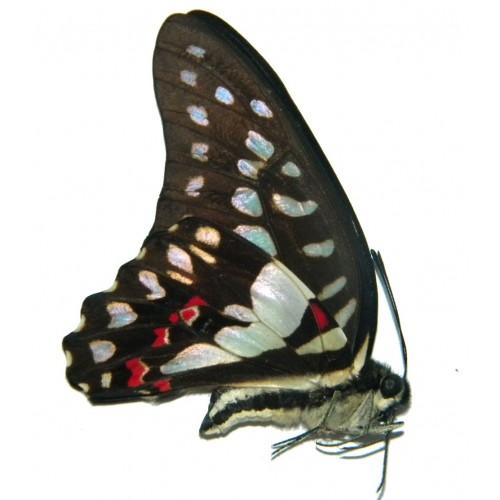 Graphium eurypylus pampylus