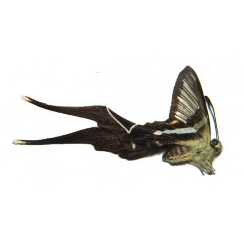 Lamproptera meges akirai