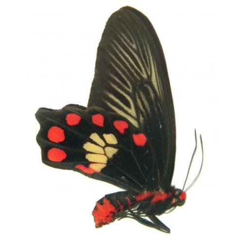 Pachliopta polydorus thessalia