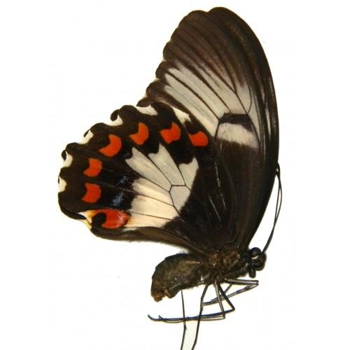 Papilio aegeus keianus