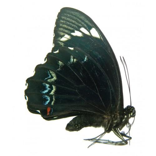 Papilio aegeus ormenus