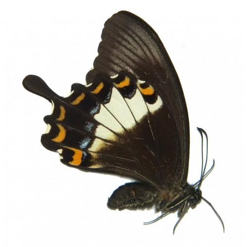 Papilio albinus albinus