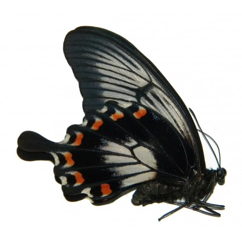 Papilio ascalapus ascalapus