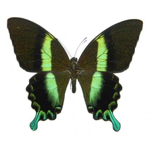 Papilio blumei blumei