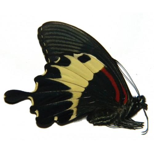 Papilio diophantus