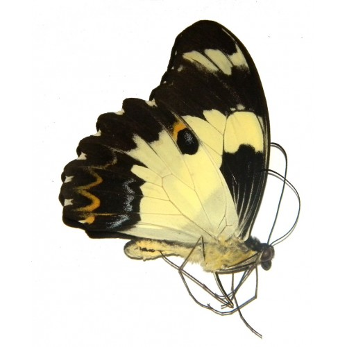 Papilio euchenor eutropius