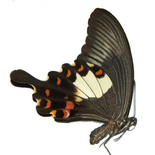 Papilio helenus biseriatus