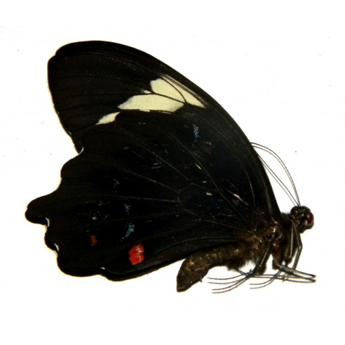 Papilio inopinatus