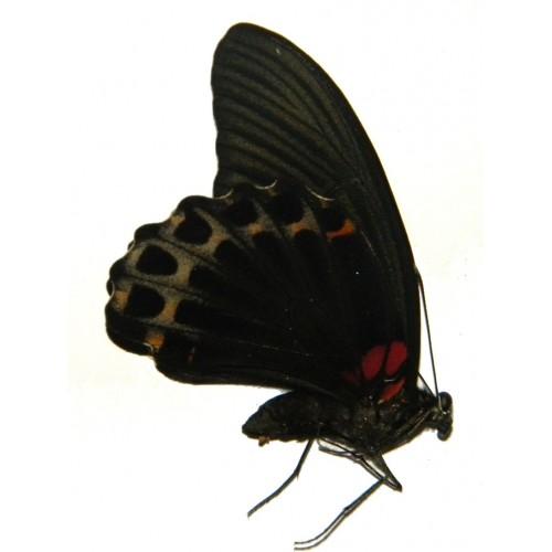 Papilio memnon subclathratus
