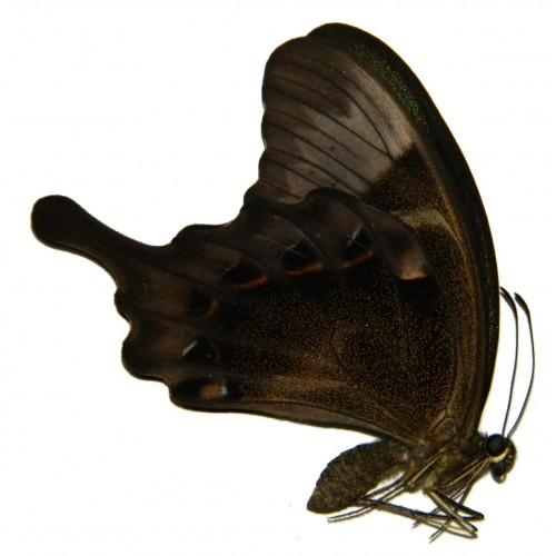 Papilio peranthus wangiwangiensis
