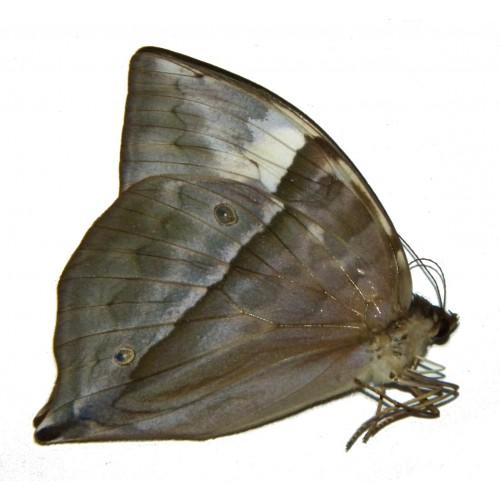 Zeuxidia luxeri prodigiosa