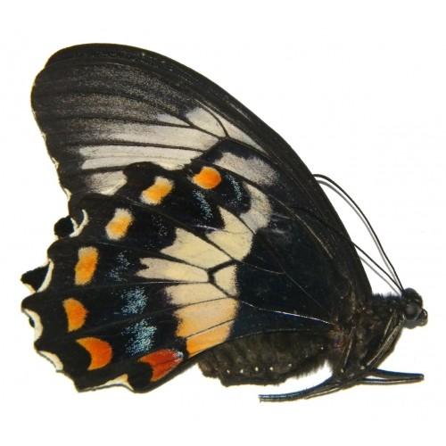 Papilio gambrisius buruanus