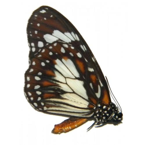 Danaus affinis tualana