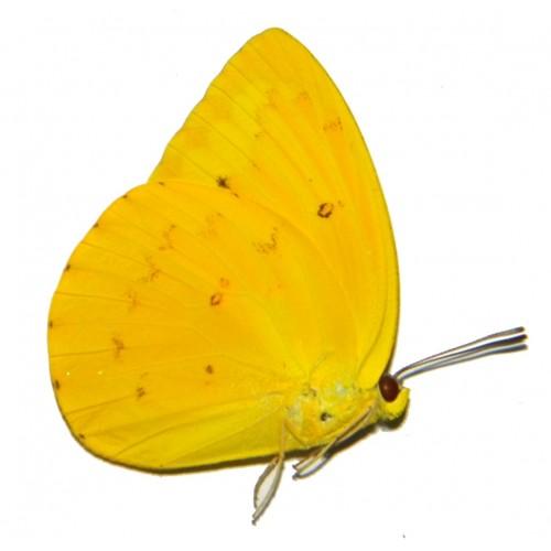 Catopsillia scylla moluccarum