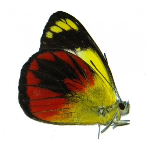 Delias caeneus philotis