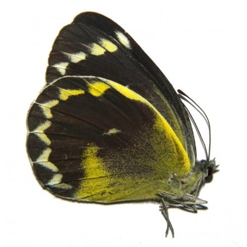Delias chrysomelaena prodigialis