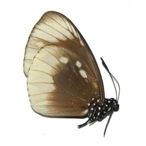 Euploea darcia hopfferi