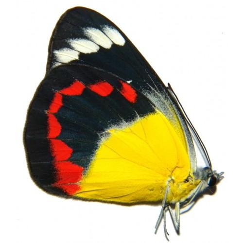 Delias timorensis moaensis
