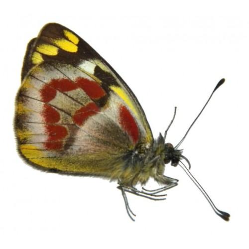 Delias wollastoni bryophila