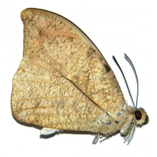 Hebomoia glaucippe javanensis