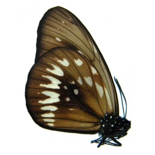 Euploea dentiplaga
