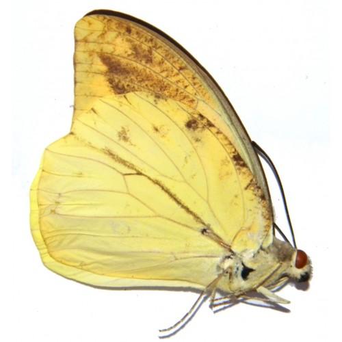 Hebomoia leucippe leucogynia ABERRATION 01