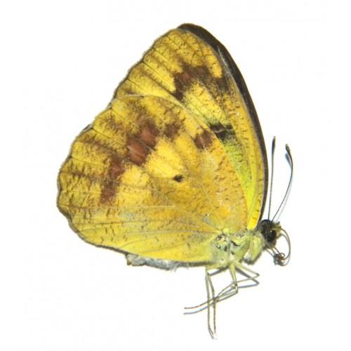 Ixias reinwardti baliensis