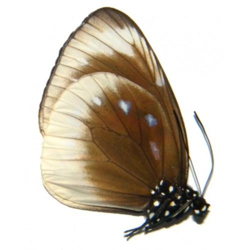 Euploea leucostictus frigida
