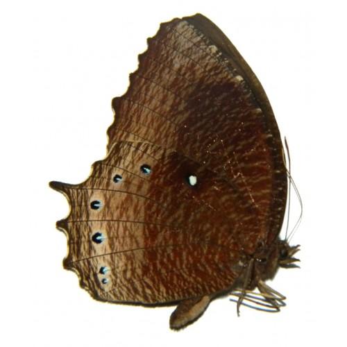 Elymnias panthera tautra