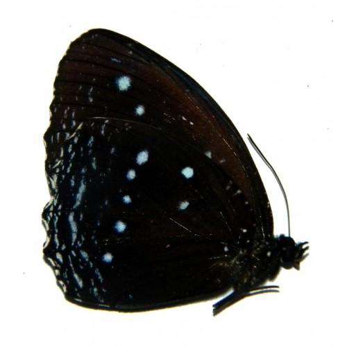 Elymnias vitellia