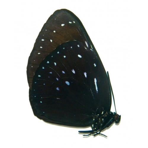 Euploea phaenareta