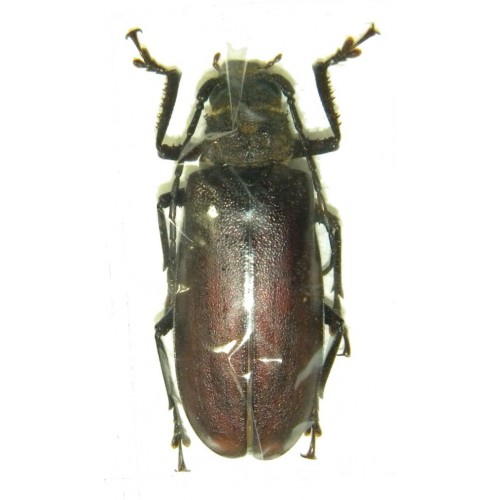 Gnathonyx piceipennis (47mm)