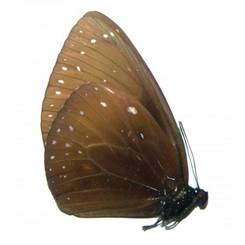 Euploea phaenareta phaenareta
